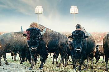 Buffalo herd standing in field at sports stadium