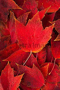 Red fall leaves with water drops
