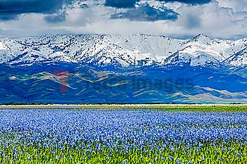 Wildflowers near snow covered mountain range