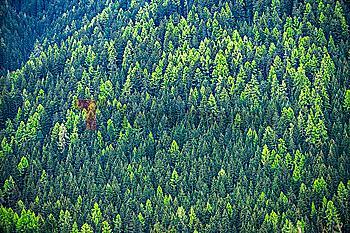Hillside pine forest