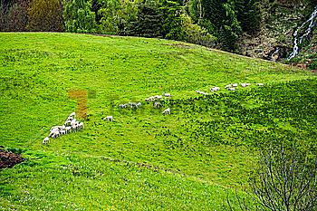 High angle view of goats in field