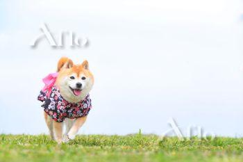 Shiba inu dog wearing a yukata by the sea