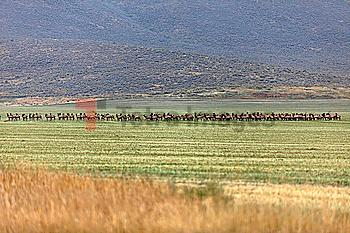 Herd of elk in field in Picabo, Idaho, USA