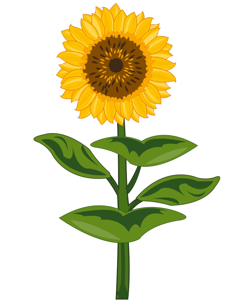 Plant sunflower on white background is insulated. Useful garden plant flowering sunflower with seeds