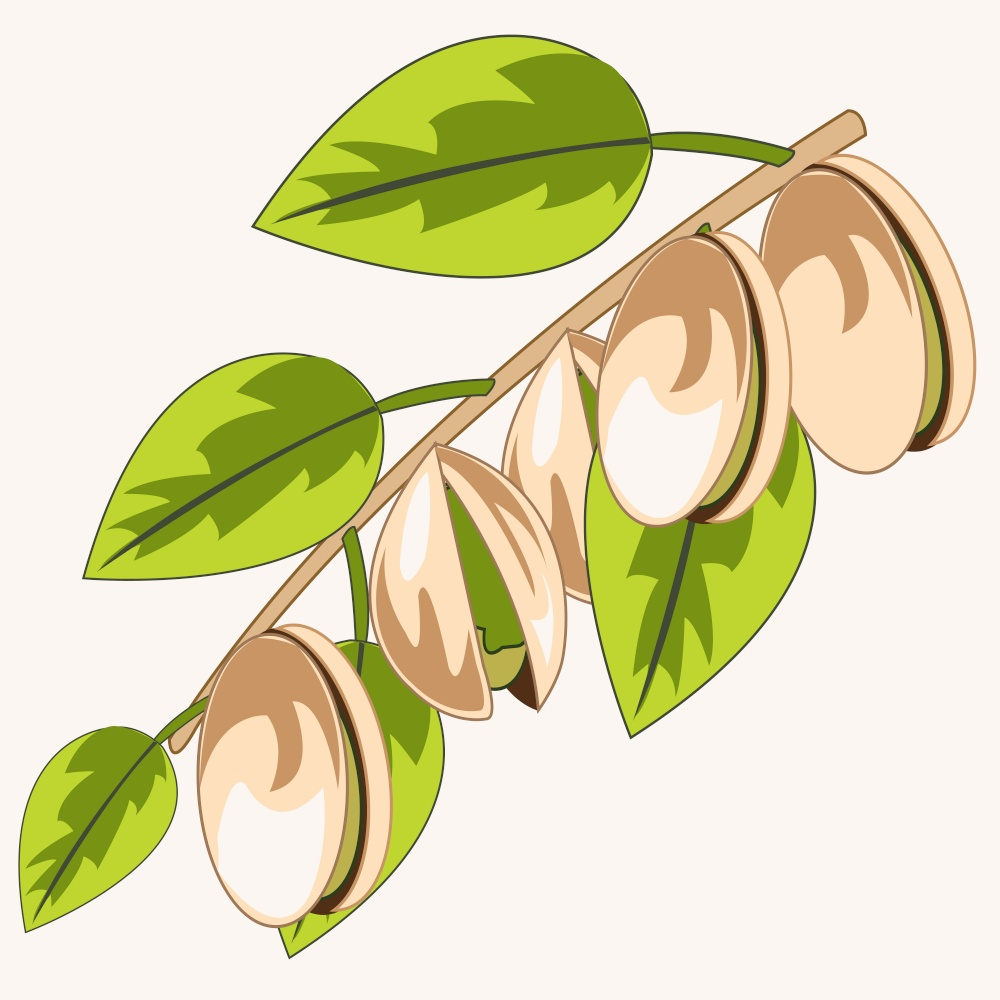 Vector illustration of the branch with ripe fruit pistachio. Branch with pistachio on white background is insulated