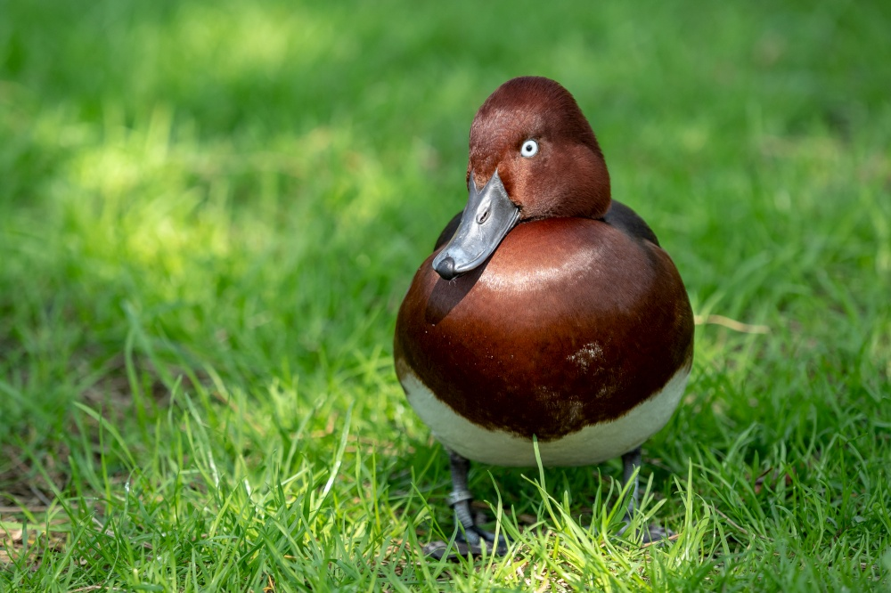 Wild male duck in the green grass